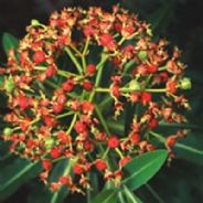 Euphorbia mellifera - Honey Spurge - 5 seeds